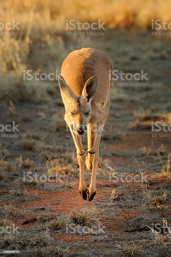 Kangaroo Jumping, Australia stock photo