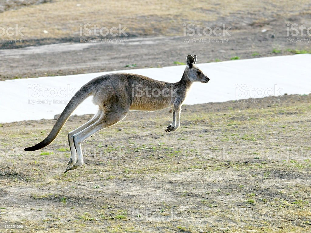 Kangaroo Jumping stock photo