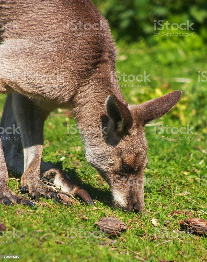 Kangaroo looking for food. stock photo