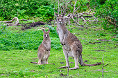 Kangaroo mother and baby on the Great Ocean Road, Australia