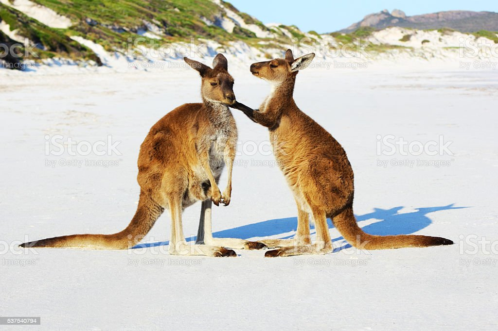 Kangaroo Mother and Young cuddling, Lucky Bay, Australia stock photo