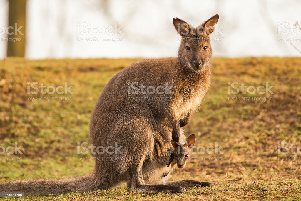 Kangaroo Mother with a Baby stock photo
