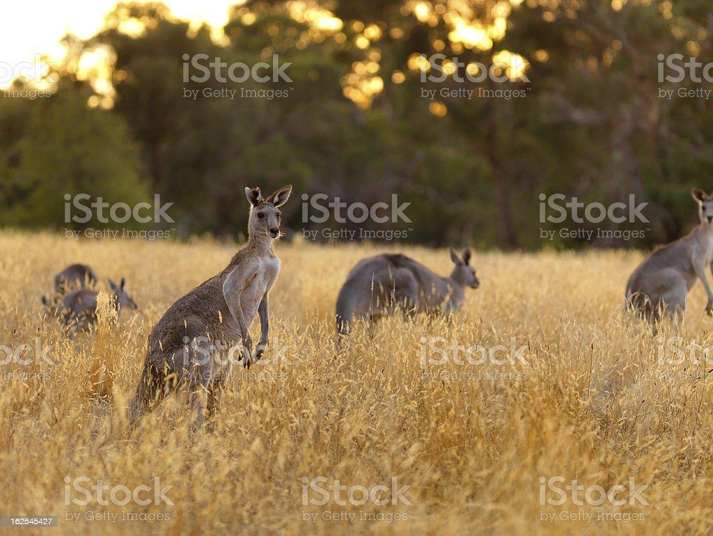 Kangaroo on dry grassland stock photo