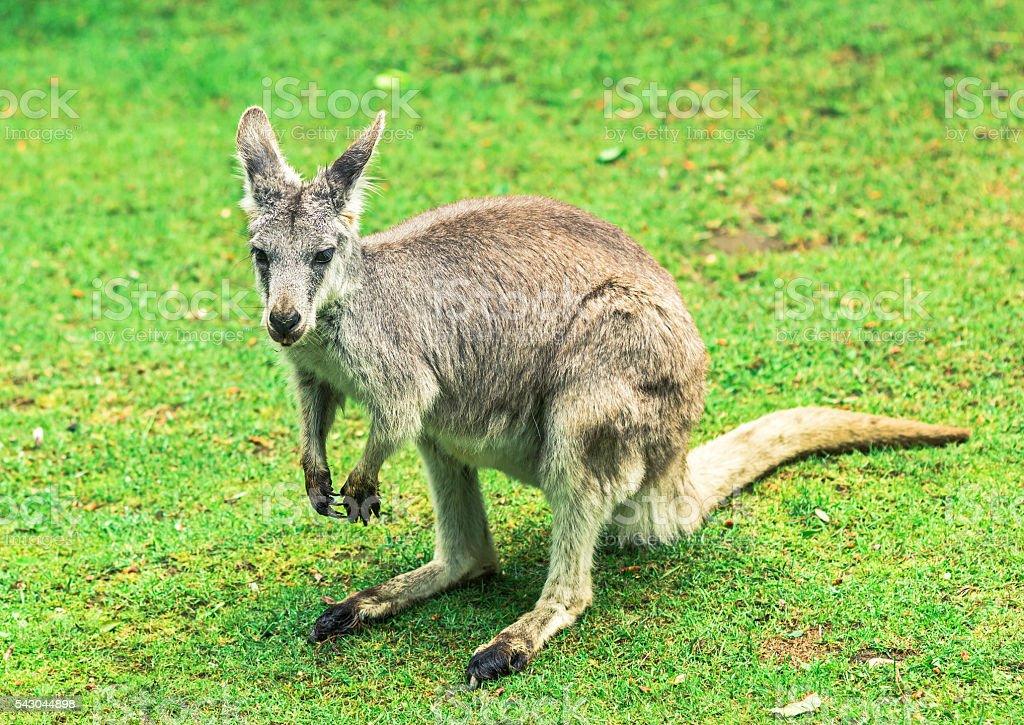 Kangaroo on grass closeup stock photo