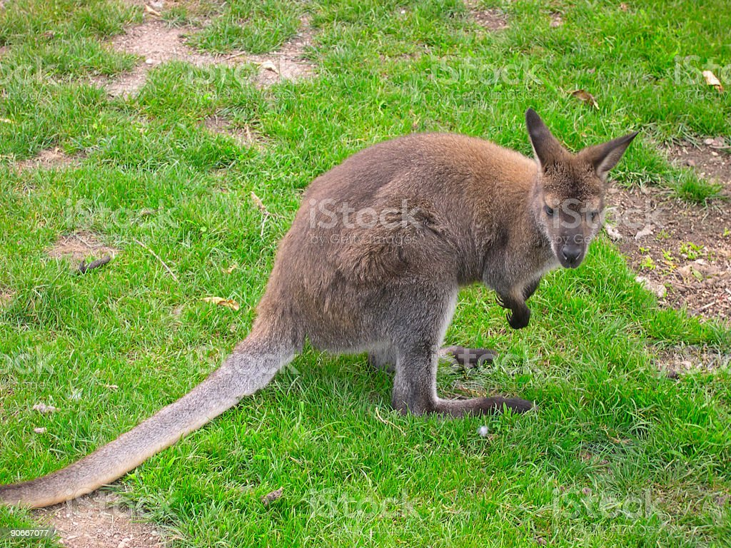Kangaroo on green gras royalty-free stock photo