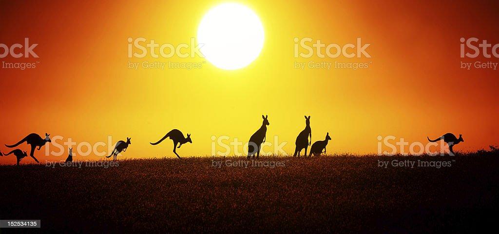 Kangaroo On Sunset stock photo