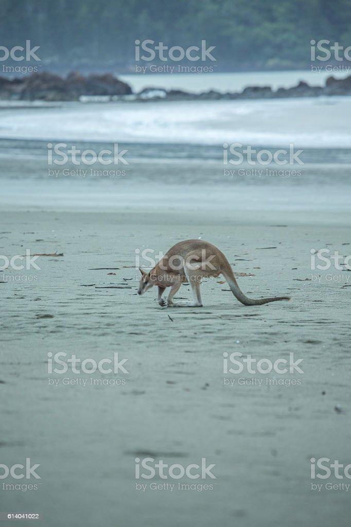 Kangaroo on the beach stock photo