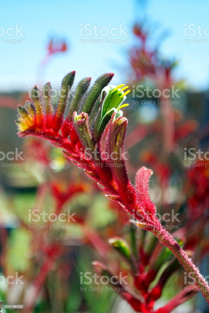 Kangaroo Paw, Anigozanthos stock photo