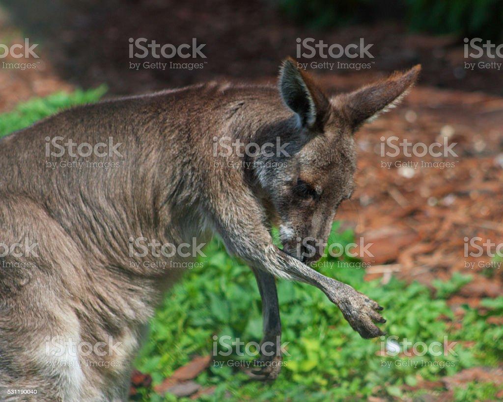 Kangaroo paw washes. stock photo