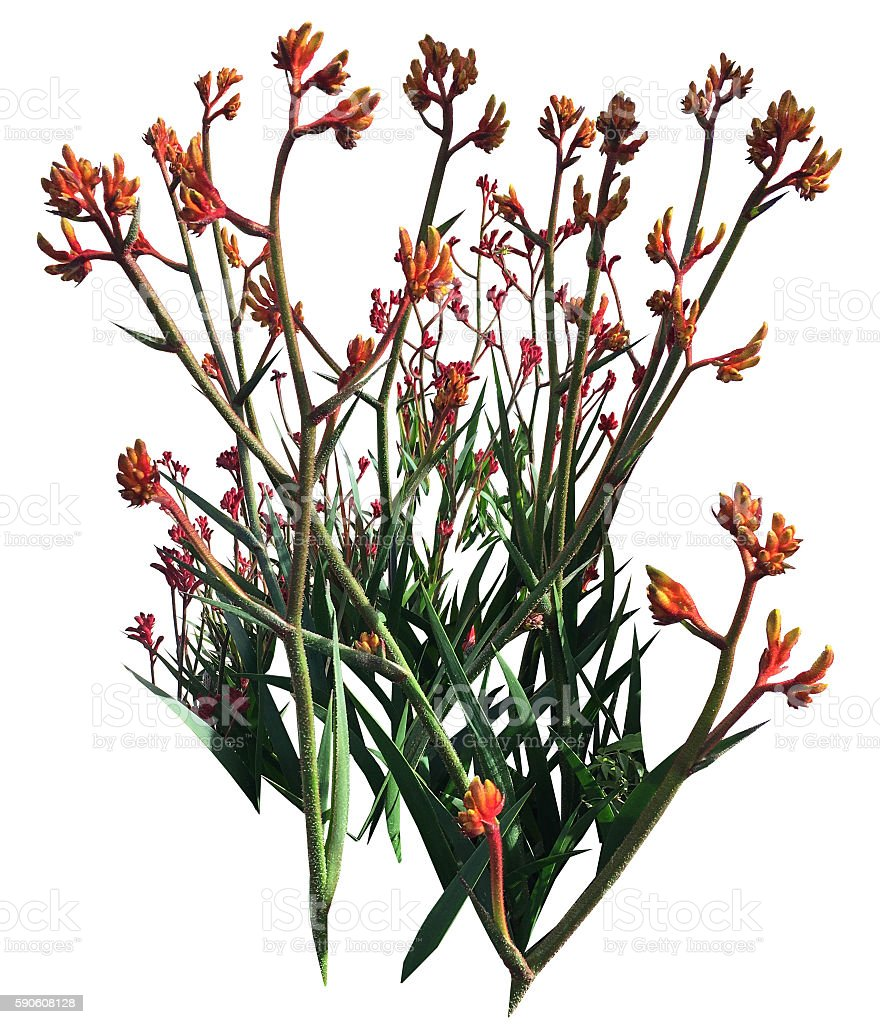 Kangaroo Paws stock photo