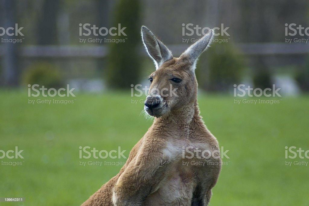 Kangaroo. royalty-free stock photo