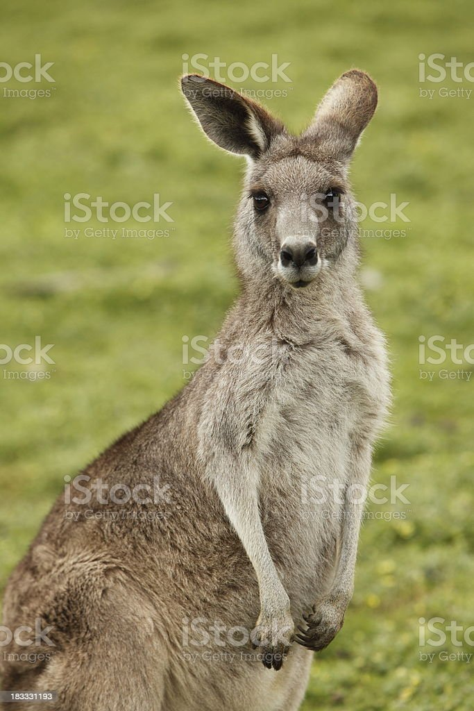 Kangaroo stock photo