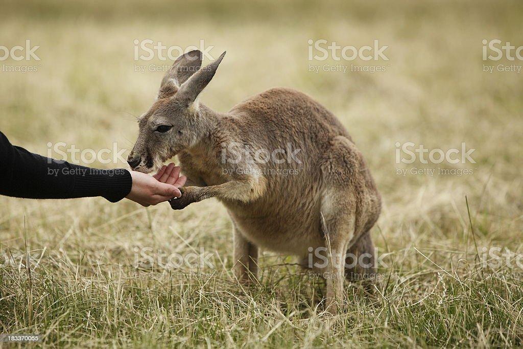 Kangaroo royalty-free stock photo
