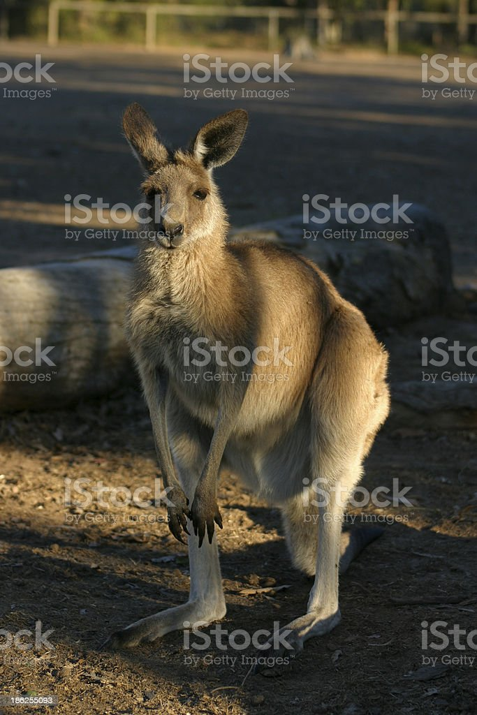 Kangaroo royalty-free stock photo
