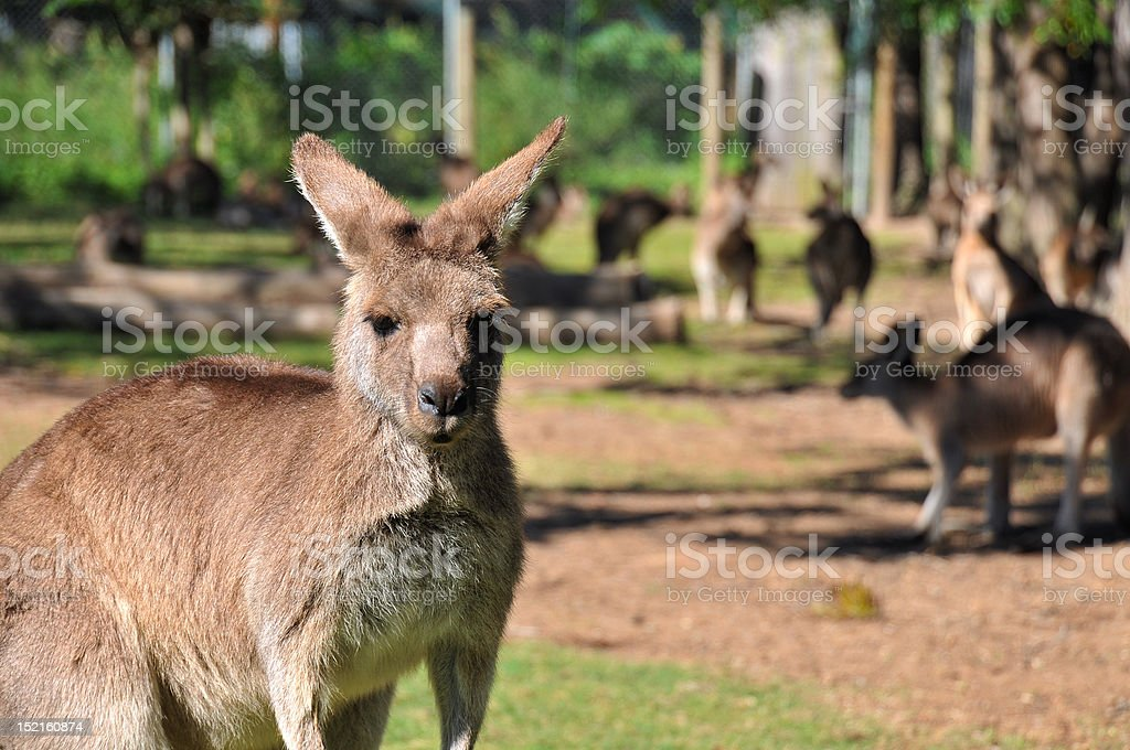 Kangaroo reserve stock photo
