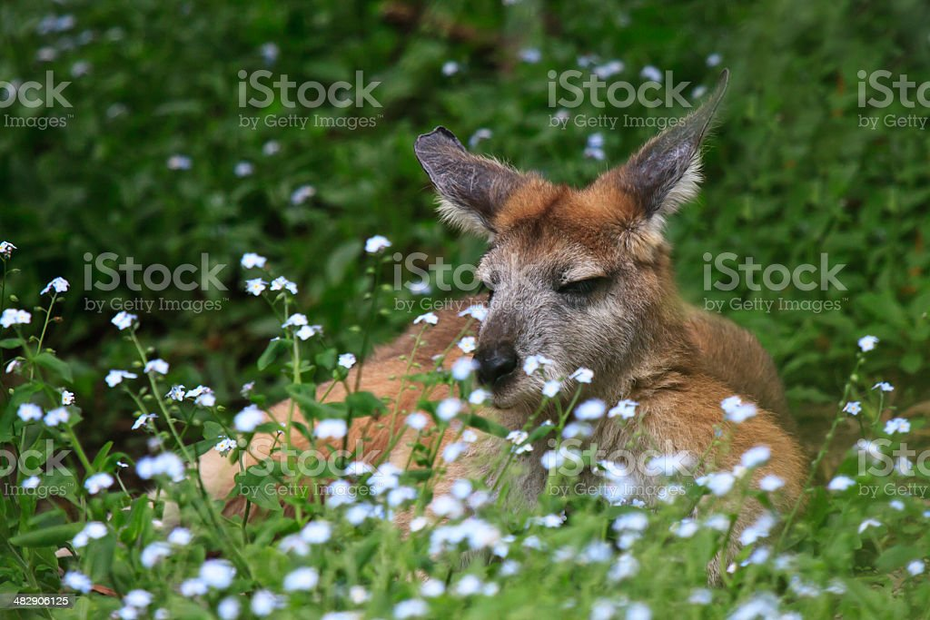 Kangaroo resting on grass stock photo