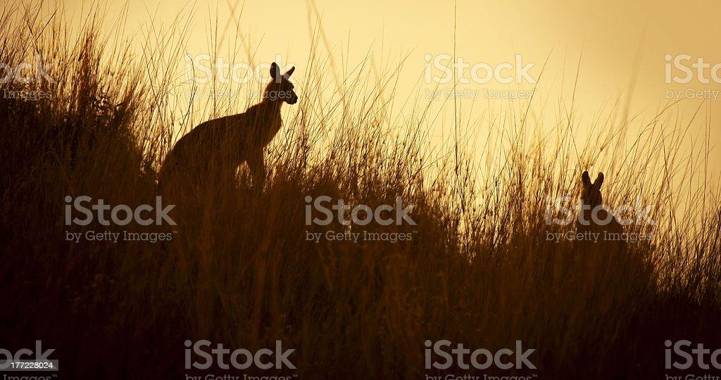 Kangaroo Silhouettes royalty-free stock photo