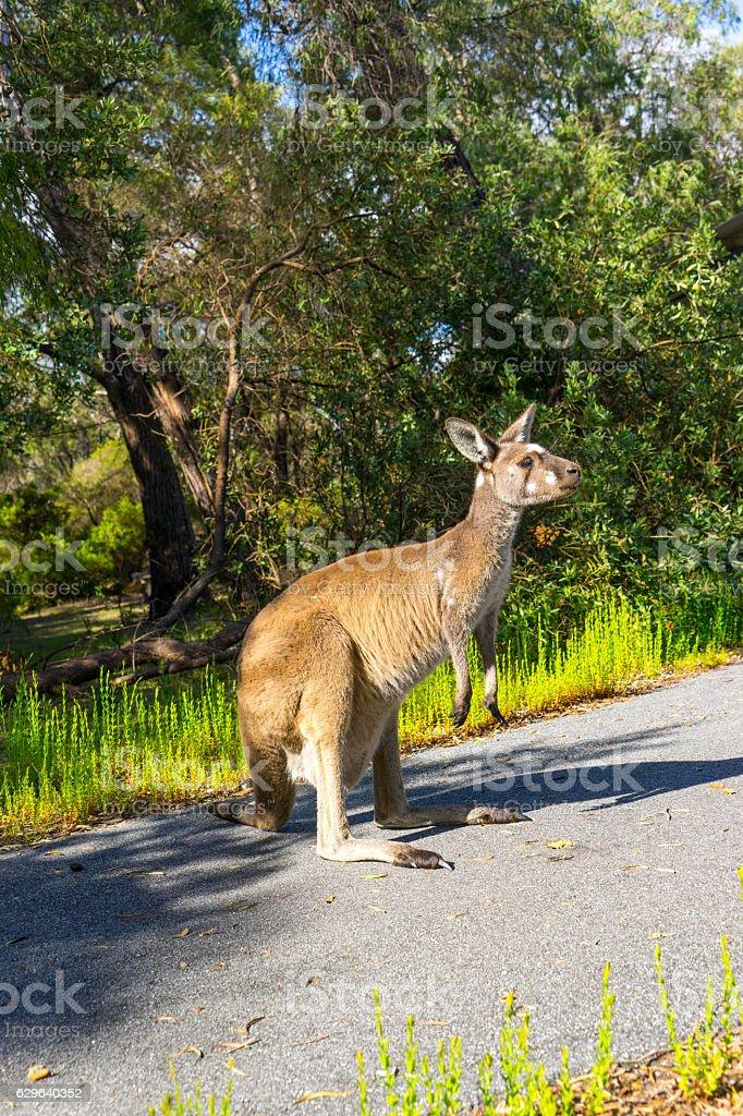 Kangaroo ,Walpole ,Australia stock photo
