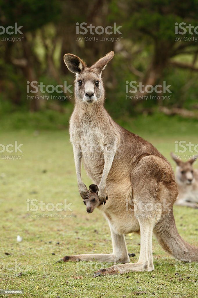 Kangaroo with a joey in her pouch and kangaroos behind stock photo