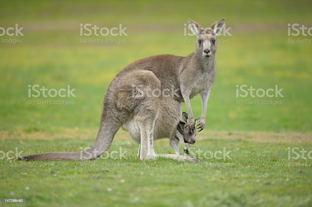 Kangaroo with a joey in its pouch stock photo