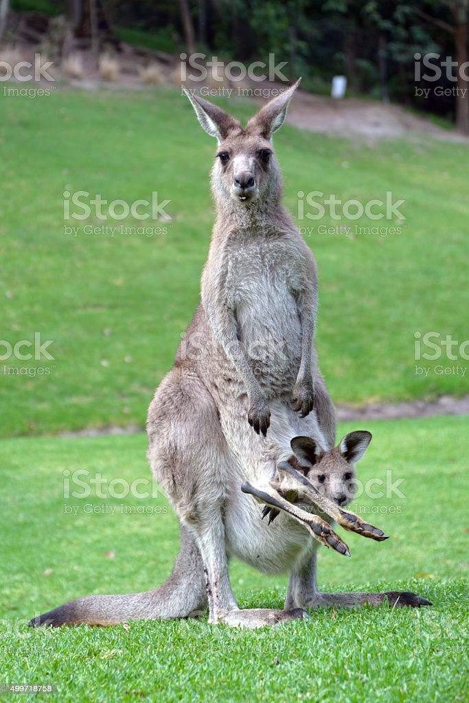 Kangaroo with Cute Baby Joey in Pouch stock photo