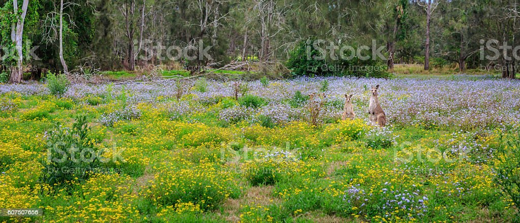 Kangaroos and spring stock photo