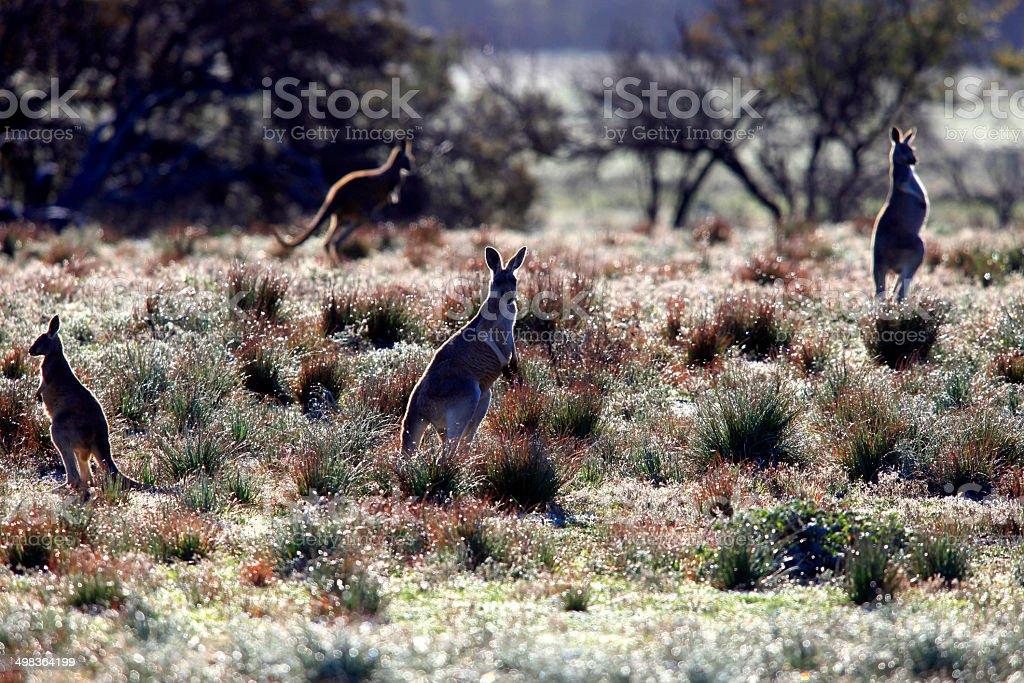 Kangaroos at Flinders Ranges, South Australia, Australia royalty-free stock photo