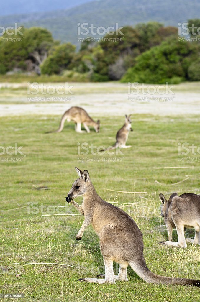 Kangaroos at Narawntapu National Park stock photo