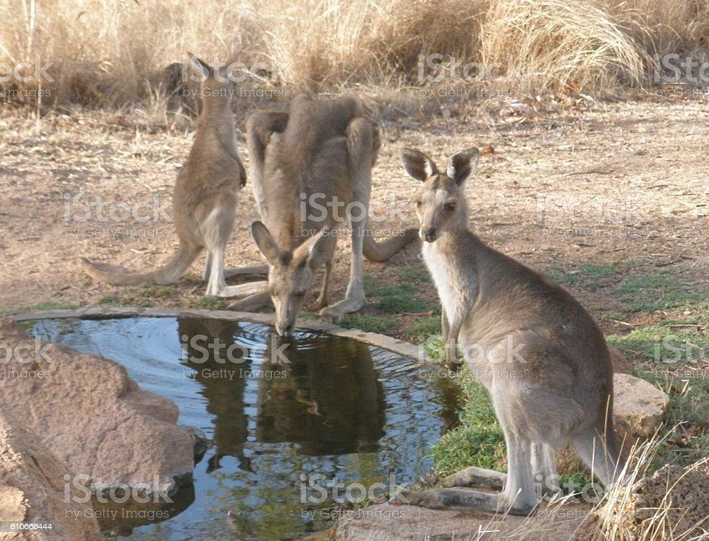 Kangaroos at waterhole stock photo