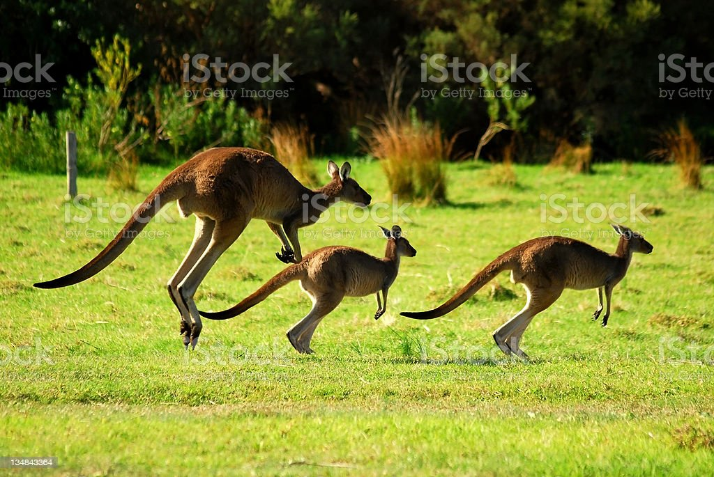Kangaroos family jumping in the wild stock photo