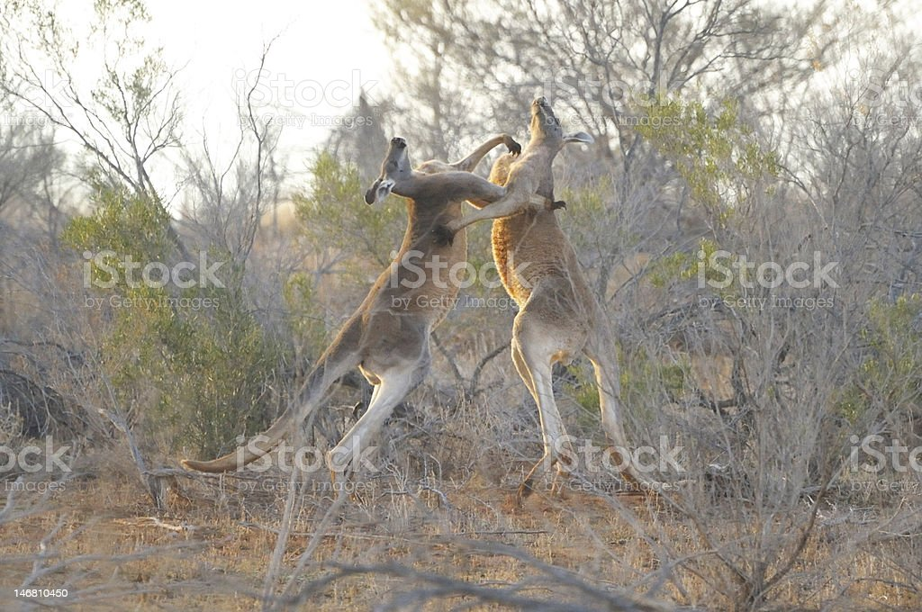 kangaroos fighting stock photo
