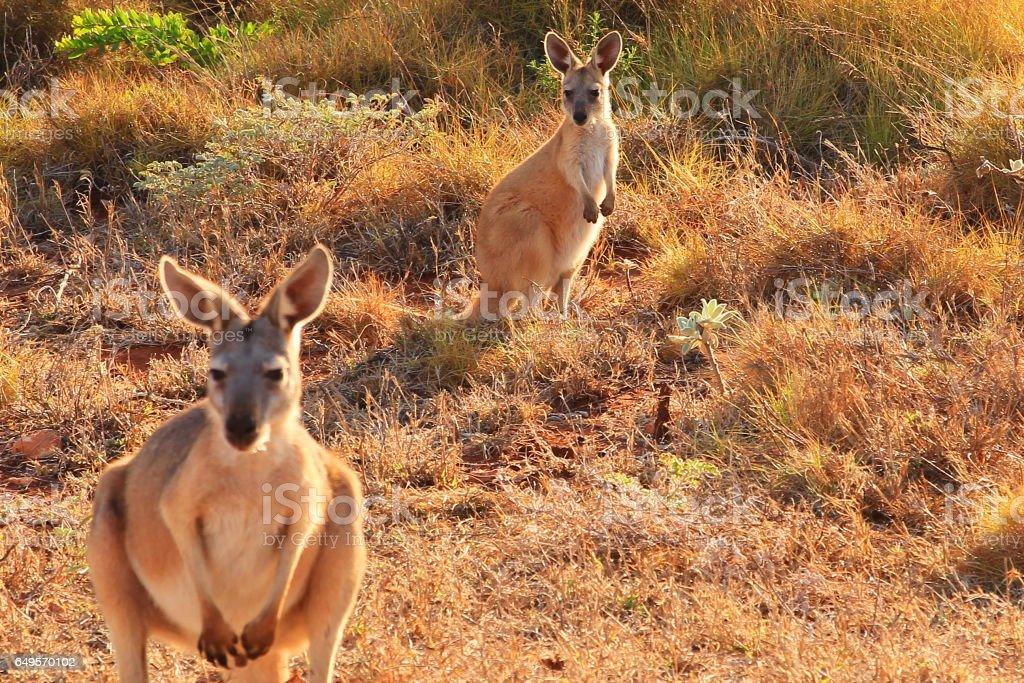 Kangaroos in Australian bush stock photo