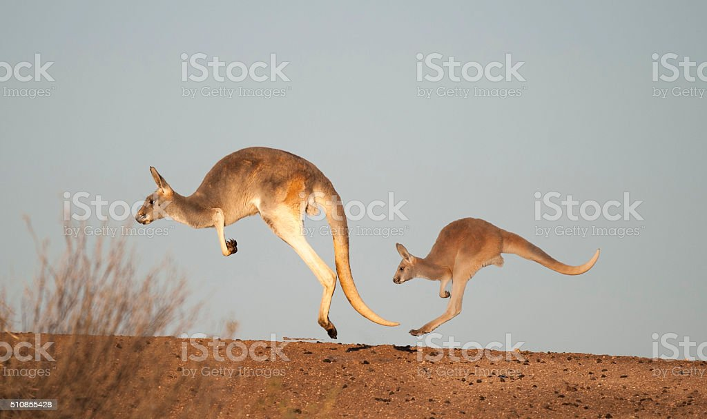 kangaroos in Sturt National Park stock photo