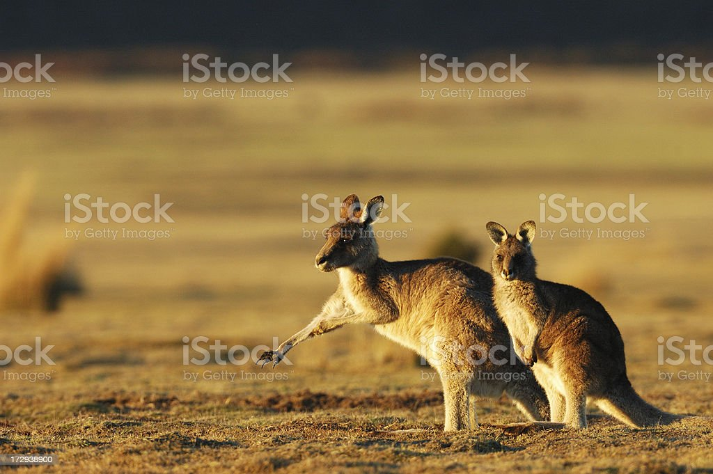 Kangaroos in the evening stock photo