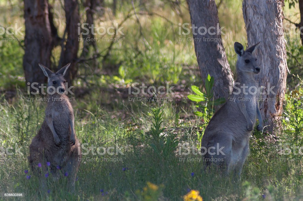 Kangaroos in the Field stock photo