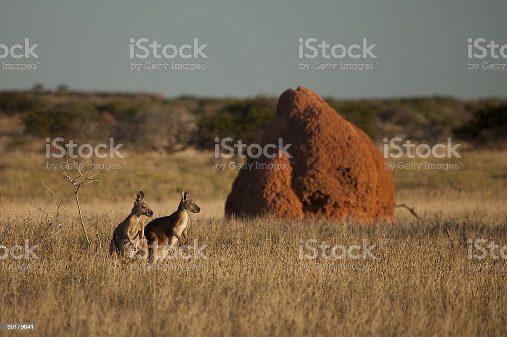 Kangaroos in the late afternoon Sun stock photo