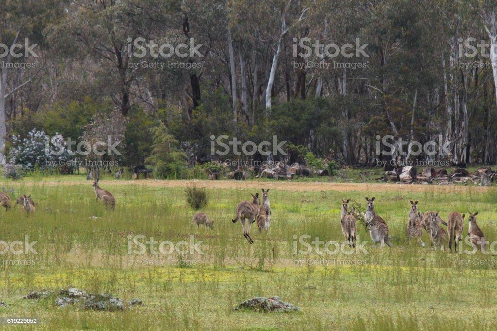 Kangaroos in the valley stock photo