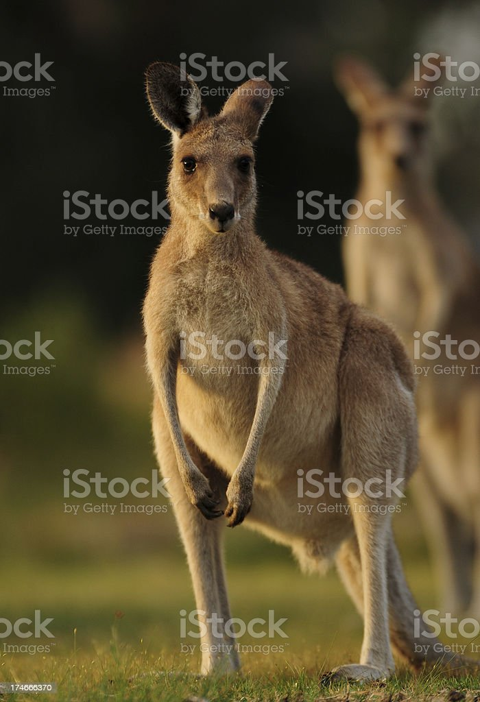 Kangaroos in Toorbul royalty-free stock photo