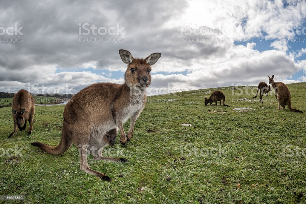 Kangaroos mother and son portrait stock photo