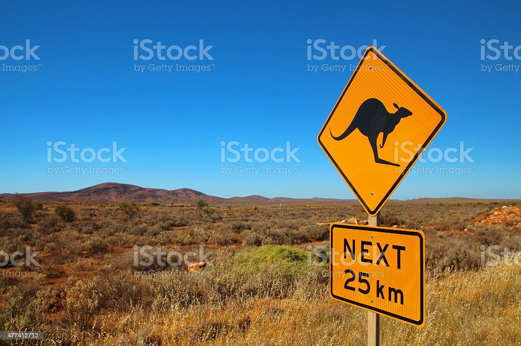 Kangaroos on the road stock photo