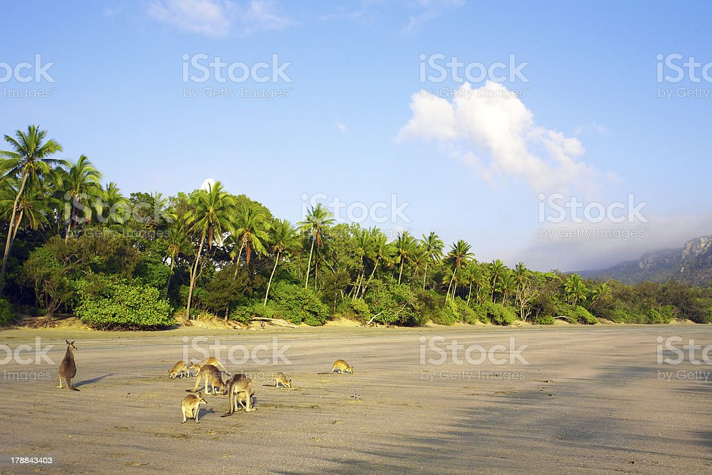 Kangaroos on tropical beach royalty-free stock photo