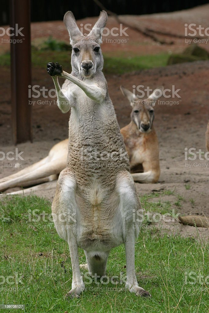 Kangaroos royalty-free stock photo