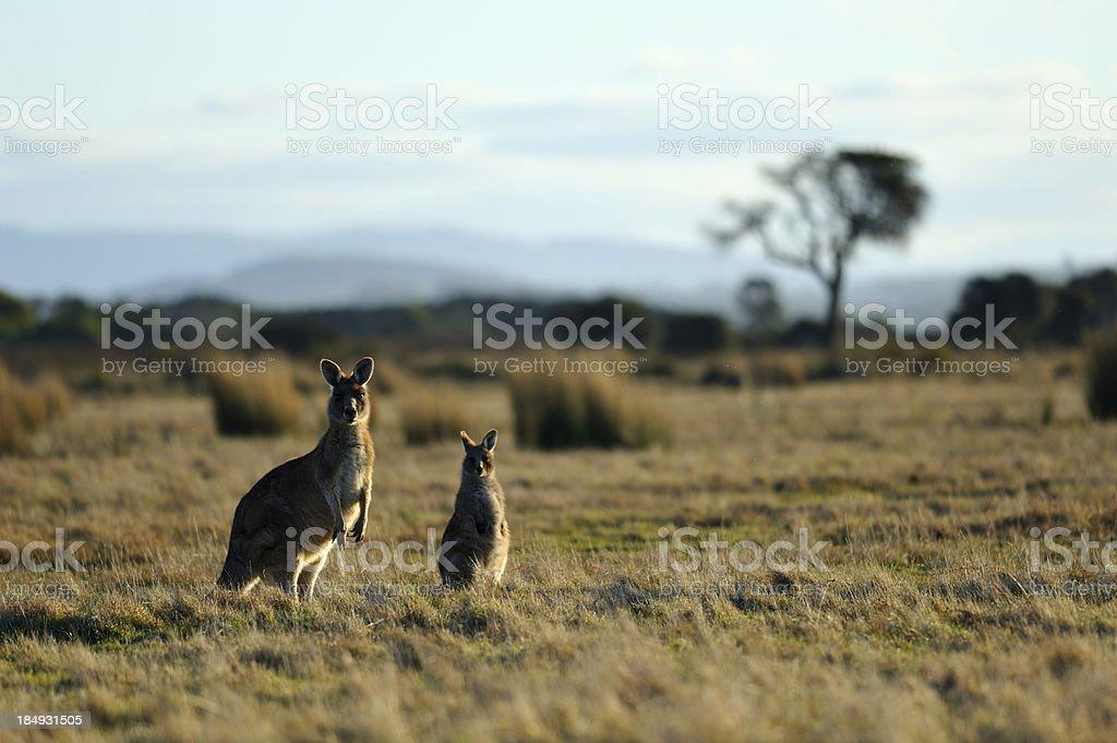 Kangaroos royalty-free stock photo