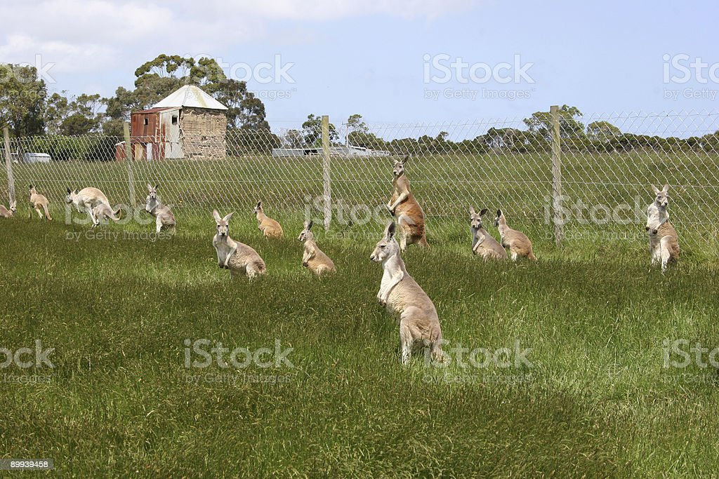 Kangaroos stock photo