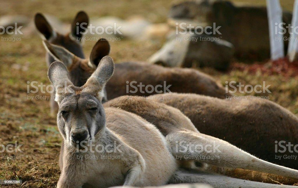 Kangaroos stock photo