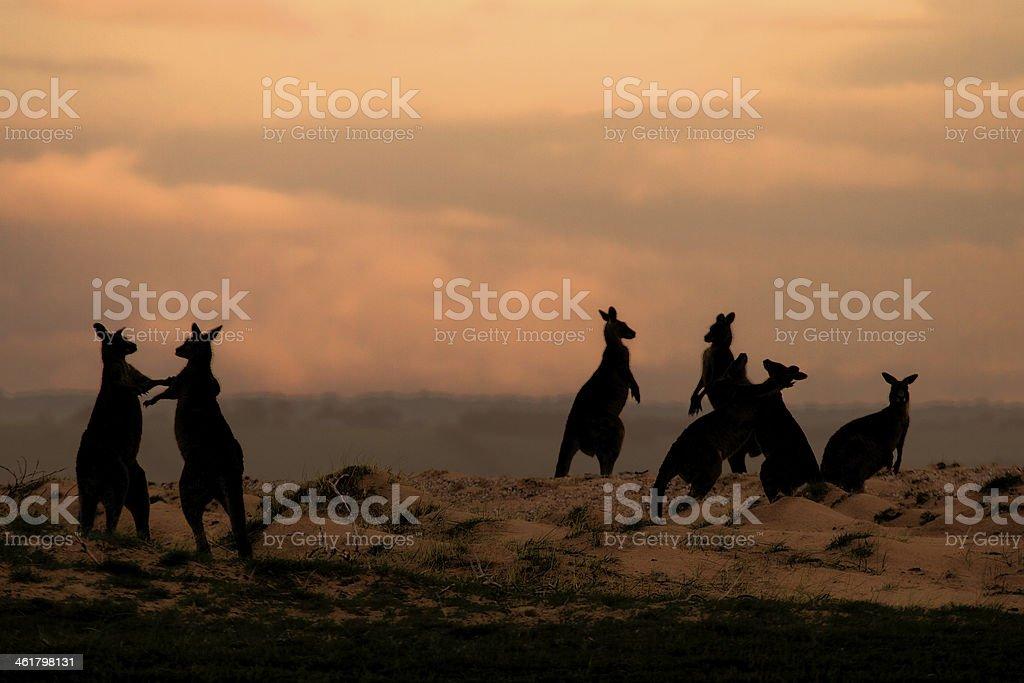 Kangaroos playing stock photo