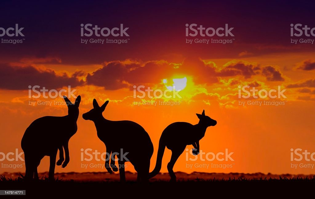 kangaroos under sunset stock photo
