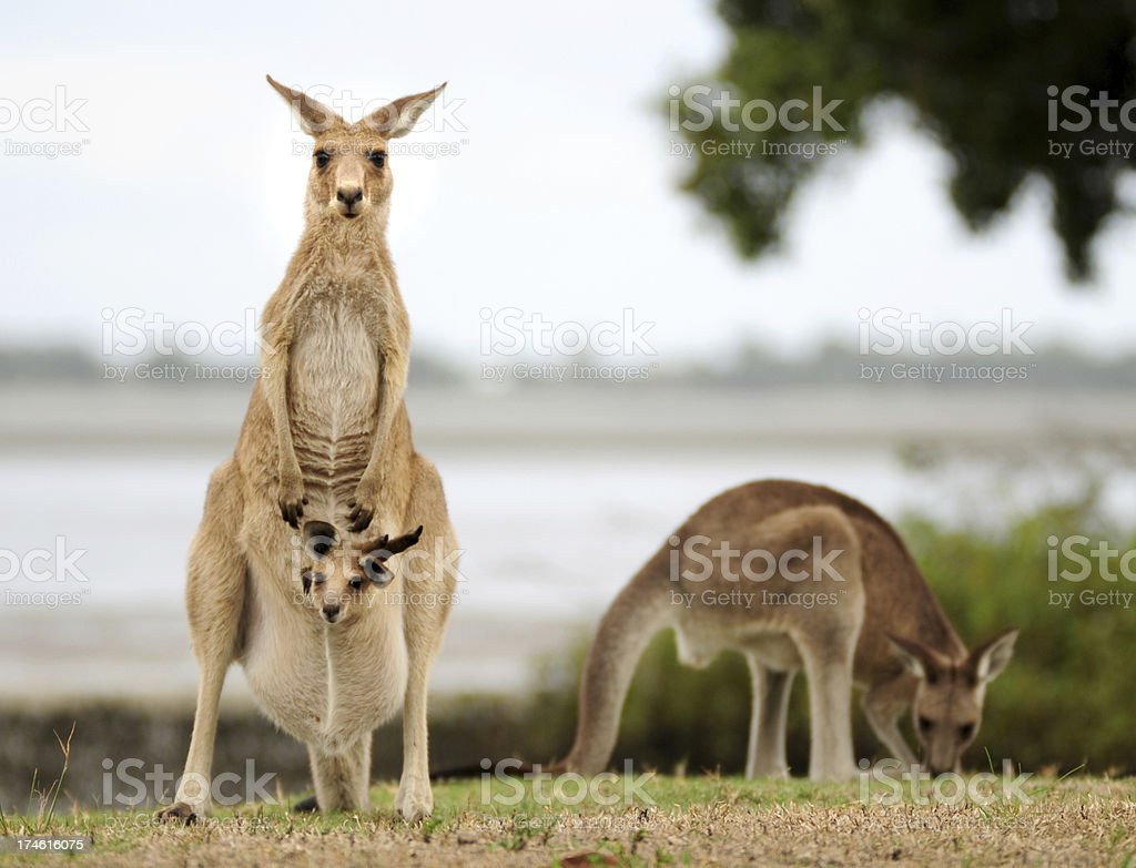 Kangaroos with Joey stock photo