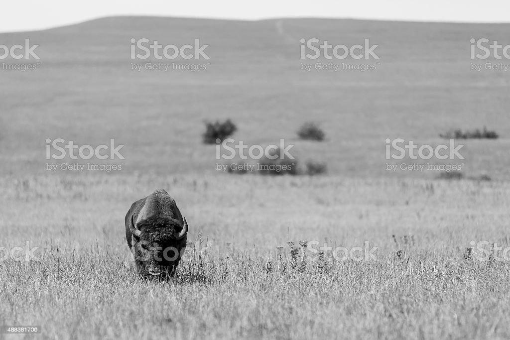 Kansas Buffalo stock photo