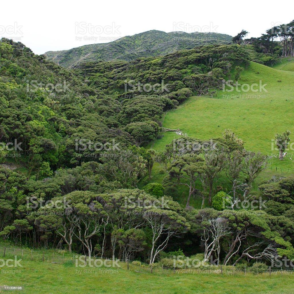 Kanuka and native bush background, New Zealand stock photo